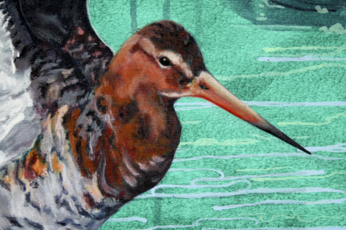 Black-tailed godwit detail